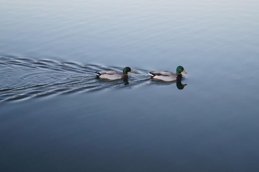 Dos patos haciendo drafting. (Imagen por Ben Pattinson, libre de derechos, obtenida aquí.)